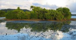 Jeunes palétuviers rouges dans l'étang des Salines Sainte-Anne (Martinique). Source : O. Dehoorne
